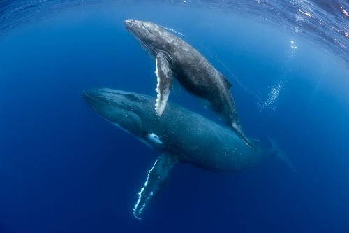 Some whales 'whisper' to their calves to evade predators