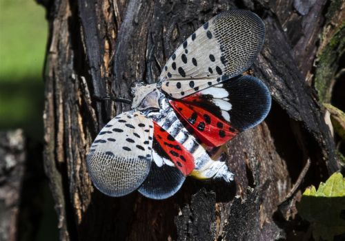 Penn State study: Spotted lanternfly costing Pa. $50M annually
