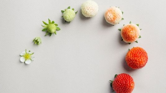 Growers Of New, Pricey Strawberry Are Selling A Sweeter Experience