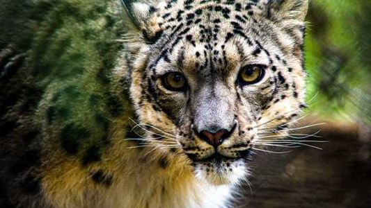 Unvaccinated snow leopard at San Diego Zoo catches COVID-19