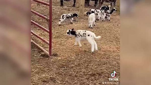WATCH: These baby sheep 'jump around' in farmer's viral video