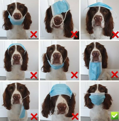 Allow Oakley the springer spaniel to show you how to wear a mask correctly