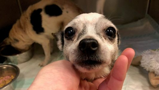 Two senior Chihuahuas abandoned on side of road in cardboard box