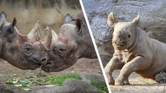 Could another baby rhino be on the way at the Cincinnati Zoo?