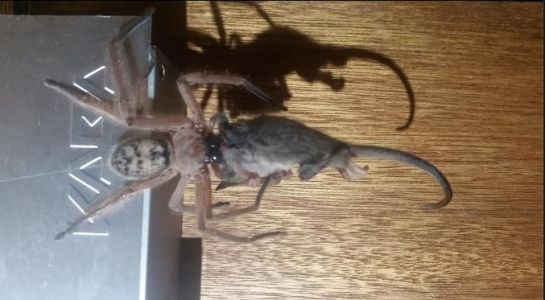 Watch this insanely huge hairy spider gobble down possum
