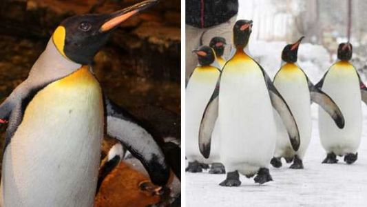 Cincinnati's 37-year-old penguin is the oldest of his kind in the US