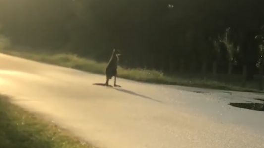 Drones help search for escaped kangaroo in Florida