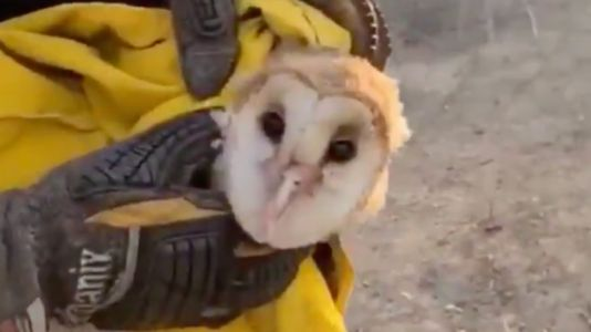 Watch: Firefighters rescue burned barn owl from massive California wildfire