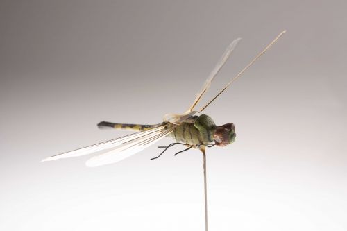 In the 1970s, the CIA created a robot dragonfly spy. Now we finally know how it works