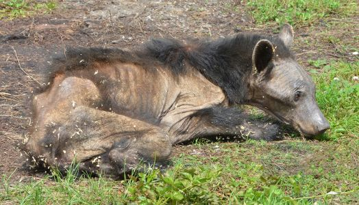 Mange in bears in Pennsylvania has reached an epidemic rate, the Game Commission says