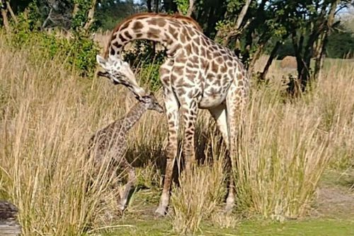 Baby giraffe born in front of Disney World guests
