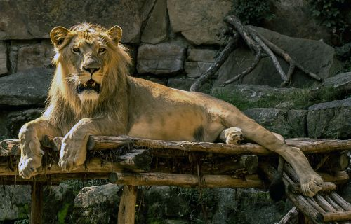 Louisville Zoo welcomes new lion
