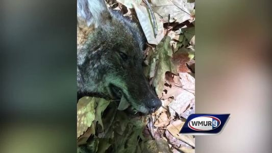 Coyote killed after several attacks