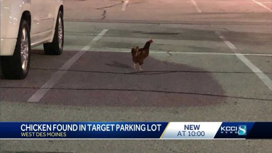 Chicken spotted in West Des Moines Target parking lot