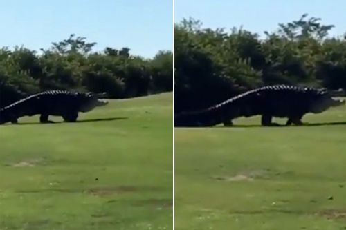 Famous 15-foot gator takes another stroll around the golf course