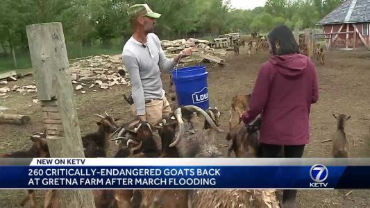 260 critically-endangered goats back at Gretna farm after March flooding