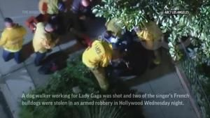 Lady Gaga's dog walker shot, French bulldogs stolen in Hollywood; singer offers $500,000 reward