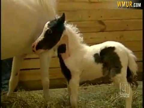From The Archives: NH-born miniature horse, Einstein, becomes international sensation