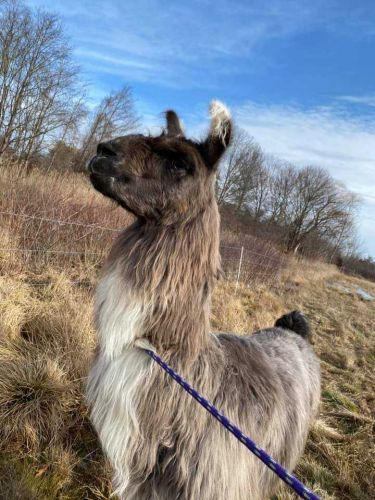 On the llam: 'Very chill' llama found wandering off highway