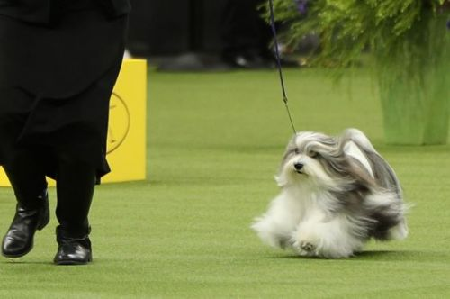 'He Looks Into Your Soul When He Looks At You.' Meet Bono the Havanese, the Westminster Dog Show's Most Diminutive Rock Star With the 'It Factor' to Go the Distance