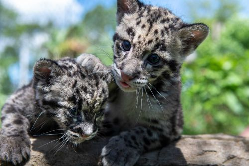 Clouded leopard cub at Pittsburgh Zoo gets new companion