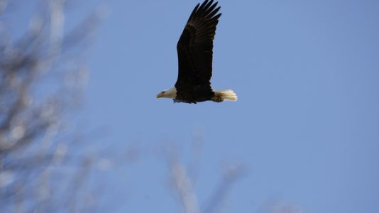 Officials Say Illegal Pesticide Caused Deaths of 13 Bald Eagles In Maryland