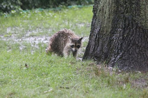 Deaths of 'zombie' raccoons continue in Central Park