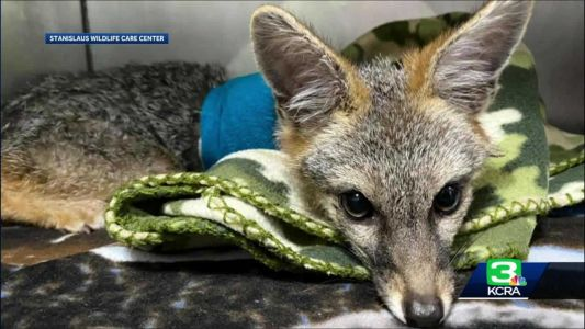 Stanislaus County family rescues fox cub stuck in gardening wire