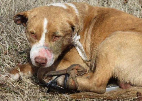 Abandoned dog found with glue in ears, legs strapped together, shot with BB gun