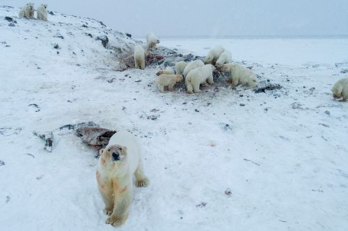 Russian village overrun by polar bears searching for food in warming climate