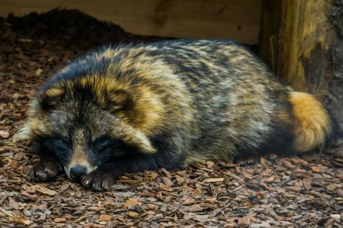 'Absolutely mad' raccoon dogs are terrorizing this small English village