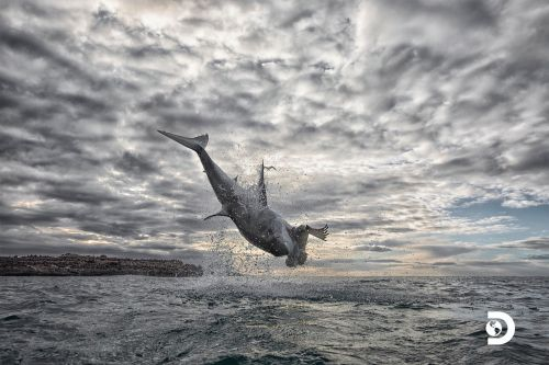 'Shark Week' show captures great white leaping nearly 15 feet in the air