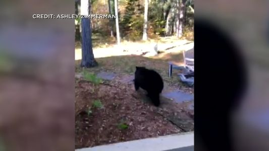 Landscapers Encounter Mama Bear And Cubs Under Nisswa Deck