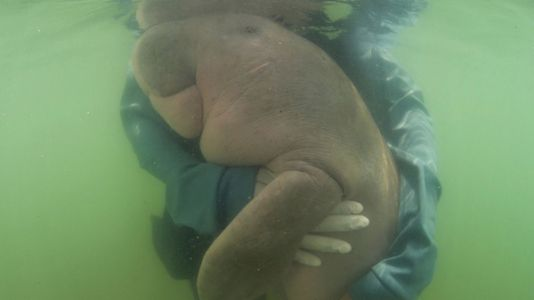 Marium, The Dugong That Charmed Thailand, Dies After Ingesting Plastic