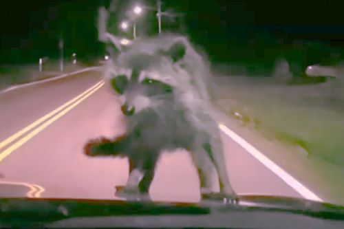 This raccoon is the cutest hitchhiker you've ever seen