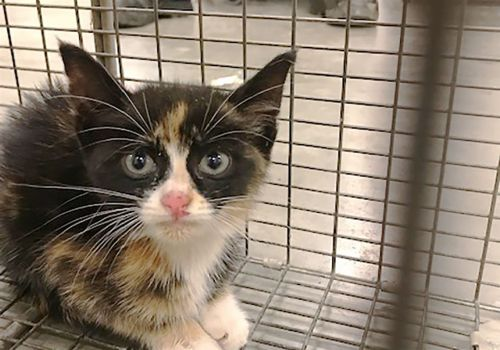 Tortoiseshell kitten rescued from sewer on busway