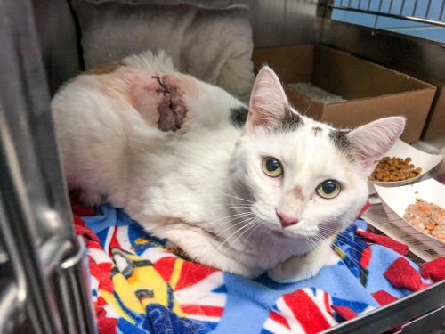 Animal Rescue League: Cat continues to recover after being stabbed multiple times