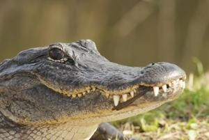 Don't flush drugs, police warn, at risk of creating 'meth gators'