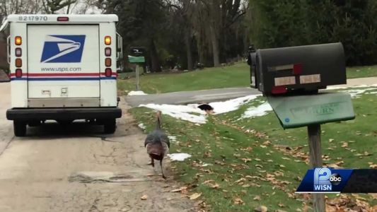 VIDEO: Same turkey chases mail carrier day after day
