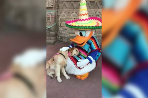 Nala the service dog makes friends with Donald Duck