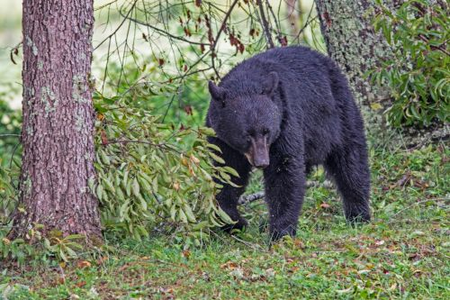 Hungry black bears are making their homes closer to humans