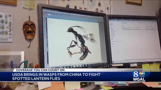 Could wasp from China stop spotted lanternfly invasion?