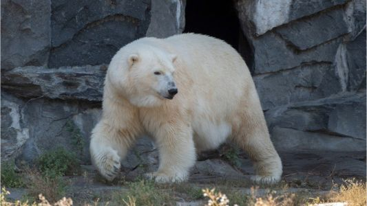 'People are scared': Polar bears migrate, invade community