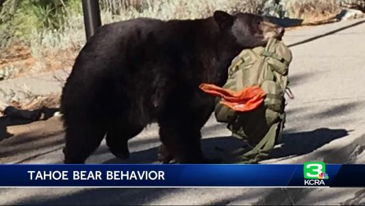 Officials: Tahoe bears are walking onto camp grounds without fear