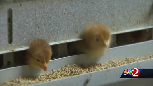 'I'm ready for birds!' Employee says people are buying chickens because of coronavirus