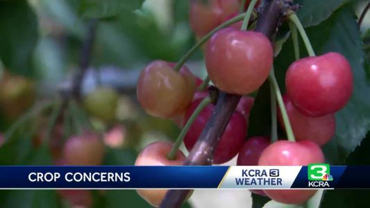 2,000 cherry trees destroyed at ex-49er's California orchard