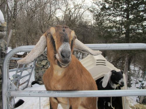 Vermont town elects goat and dog as mayor to help fund playground