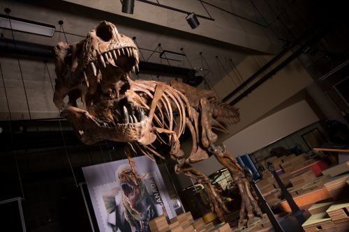 World's biggest T-rex found by Canadian paleontologists