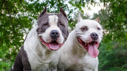 Cruel pit bull hashtag starts with internet troll, goes viral