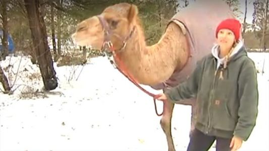 'He's going to be remembered forever': Why a camel walked along a snow-covered road